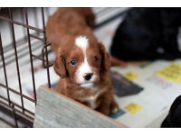 Beautiful Cavapoo Puppies (5 weeks old)