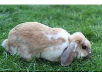 Beautiful Male Rabbits For Sale
