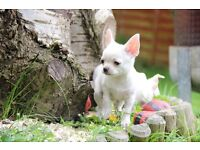 Gorgeous KC Registered smooth coat Chihuahua puppies