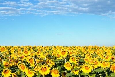 Sunflower Pasture Blue Sky Provence France Photo Art Print Poster 18x12