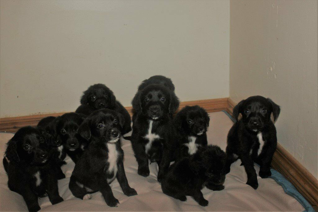 ***RED SETTER x COLLIE Cross PUPPIES***
