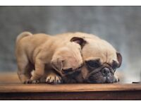 1 male and 1 female left cute and healthy pug puppies ready for a home , London
