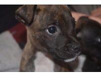 Staffordshire Bull Terrier Puppies - Staff Puppies
