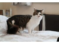 Male Kitten - Long haired - Mix of white & tabby - Comes with everything needed!