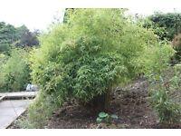 Screening Bamboo