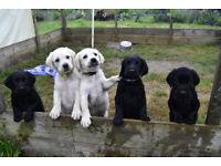 5 springerdor puppies ready 3rd August