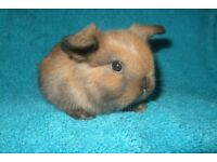baby mini lops for sale