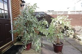 A pair of Varigated Weeping Fig trees
