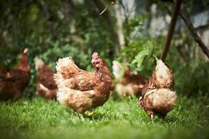 Get the Best Tasting Eggs from the Best Laying Hens in the World! Keysborough Greater Dandenong Preview