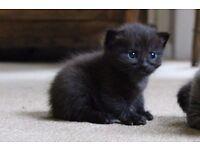 Bengal x Ragdoll Grey Kitten - ONE remaining