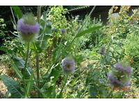 teasel plant great for bees flowering now