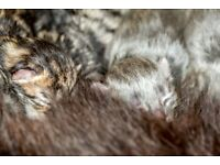 4 Tabby kittens for sale 2 grey 2 brown