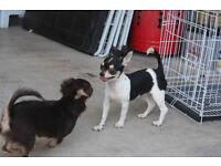 2 Beautiful Chihuahua puppies