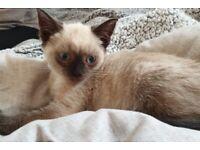 Siamese blue point kitten