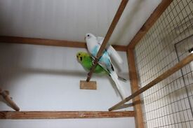 BUDGIE BIRDS DIFFERENT COLOURS