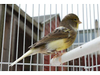 Canary 1 year old, we think it's a female!