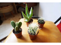 Fantastic Scottish & Dutch Cacti - Small, Medium & Large Available VARYING PRICES