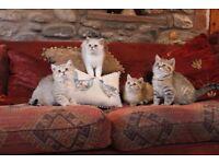 British shorthair TICA reg kittens ready now