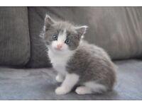 Crossed Norwegian Forrest kittens for sale