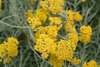 Essential Natural - Helichrysum Essential Oil 100% Pure & Natural.Uncut or diluted.5-10% off!