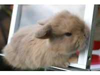 most adorable ever baby mini lop bunnies