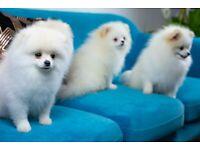 Beautiful fluffy Pomeranians Ready to Go!
