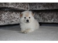Chowski male puppy for sale