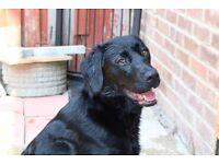 Labrador 8 months black girl