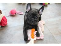 3/4 French Bulldog and 1/4 Pug 9 weeks old puppies ready to leave now