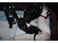 French Bulldog Puppies For Sale-Ready to Leave Now