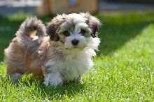 WTB a Maltese puppy Paralowie Salisbury Area Preview