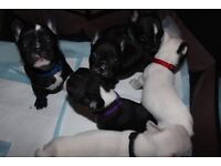 6 Adorable French Bulldog Puppies Available