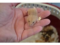 Baby Winter White and Campbells Hamsters for sale