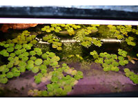 fish tank life plants - Phyllanthus fluitans - Red Root Floater