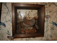 Antique Taxidermy Partridge in case