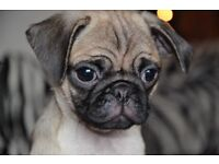 Gorgeous Pug Puppy -Fawn -Kc Registered-Ready to go