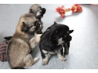Chihuahua Kc Long coat Puppies