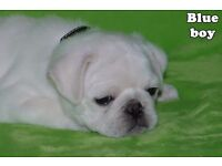 Ready Now Kc Reg White Pugs Boys & Girls 8 weeks old
