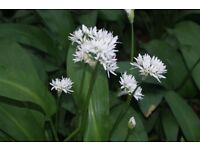 wild garlic organic grown used in cooking or as a herb