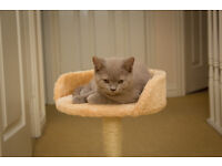 Two British Shorthairs (boy and girl) lovely kittens!