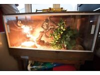 Corn Snake and vivarium - Cambridge based