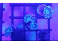 Marine coral- Duncan's coral frags- hard coral/LPS