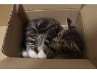 Beautiful, Loving, Female Maine Coon Cross Kitten