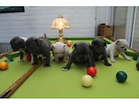Blue French Bulldogs Puppies For Sale In Dartford Kent