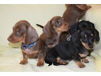 ADORABLE 3/4 miniature smooth dachshund puppies