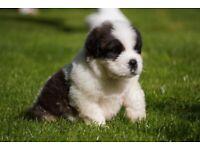 St Bernards puppies for sale