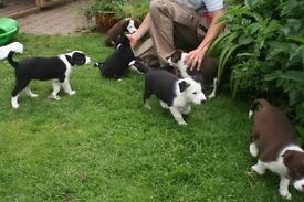 Border Collie puppy - gentle black and white male