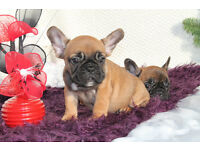 Very Cute French Bulldog pups for sale