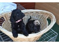 Stunning Cockapoo pups for sale