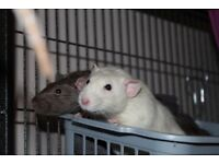 Pair of Male Rats aged around 8 months old